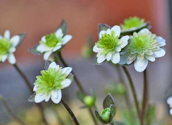 雪割草三段咲